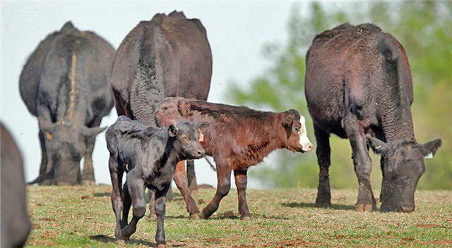 CattleDrought