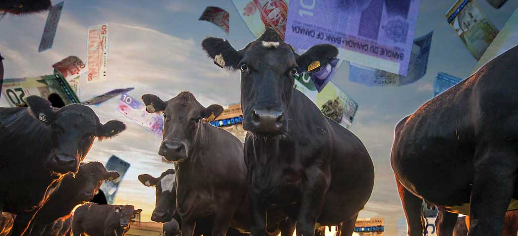 cattle-at-sunset-money