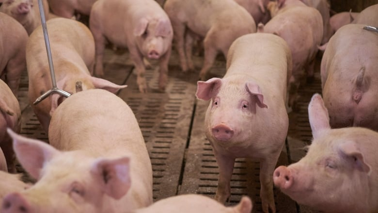 African swine fever (ASF) is a highly contagious viral disease of domestic and wild pigs, according to the Canadian Food Inspection Agency. (Submitted by Stacey Ash )