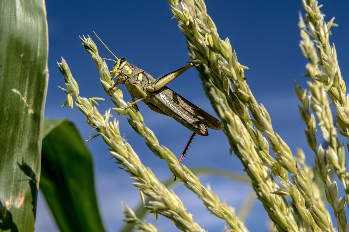 GrasshopperGrain